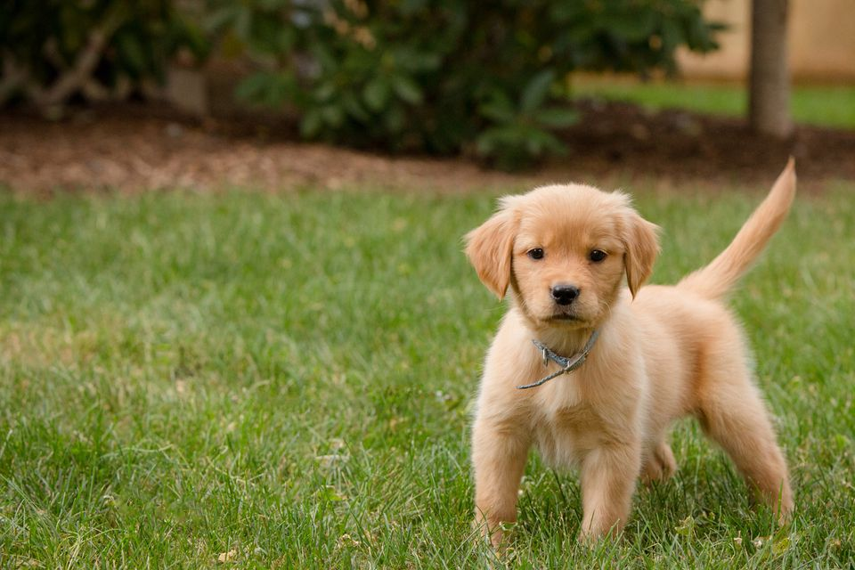 Cachorro Golden Retriever en pasto