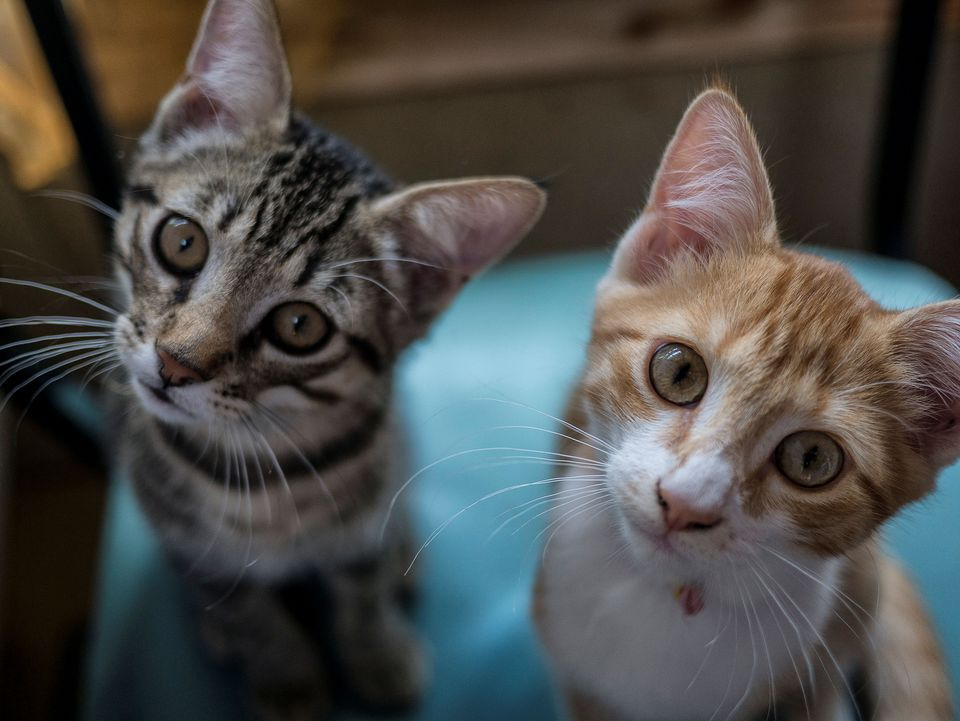 Copy of Two Tabby Kittens, Gray and Red