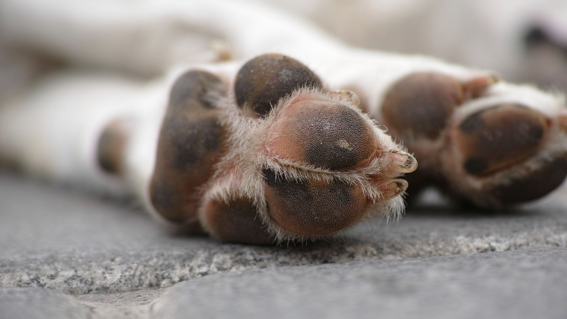 8 Common Dog Paw Problems