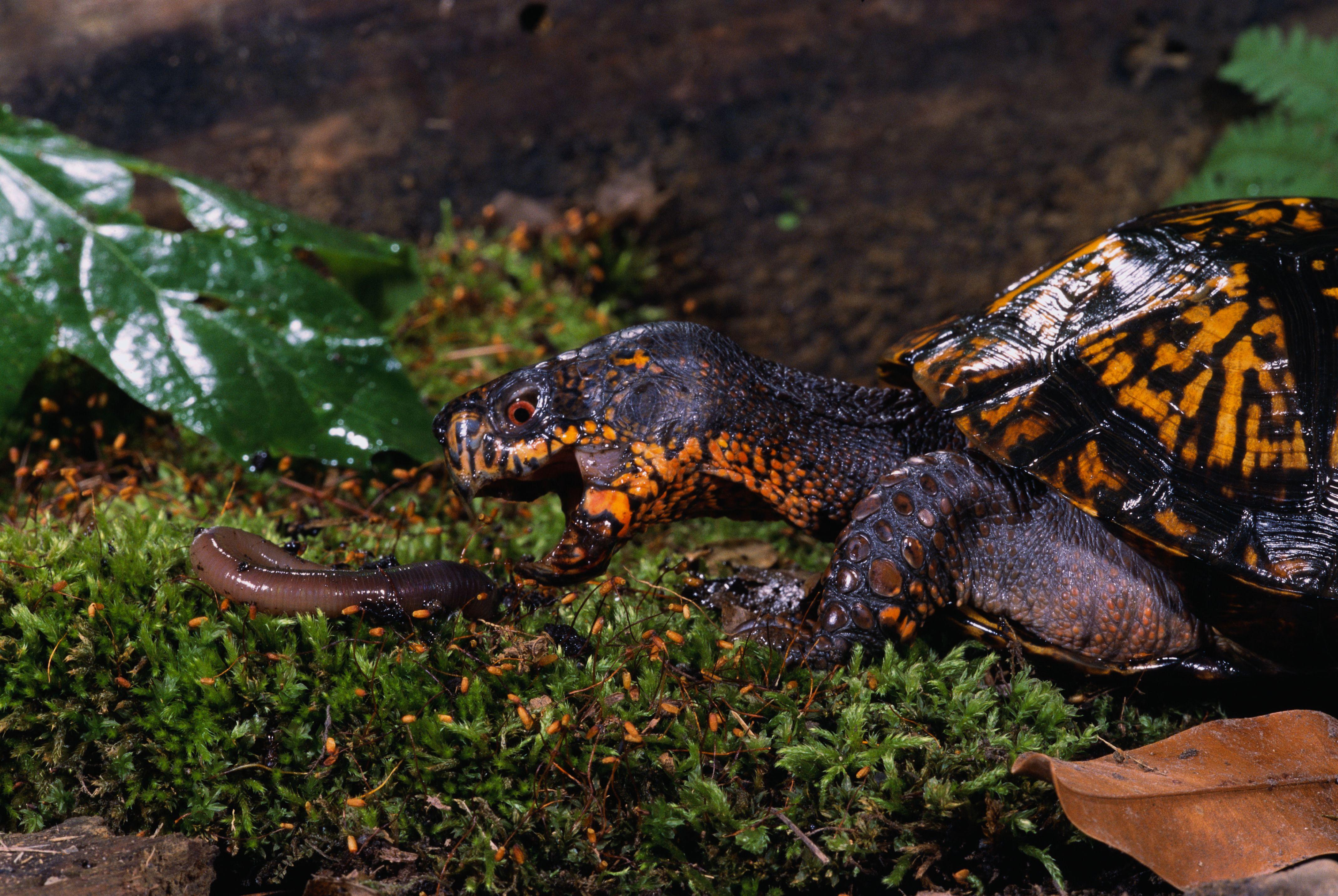 Tortuga de caja oriental cazando en un gusano