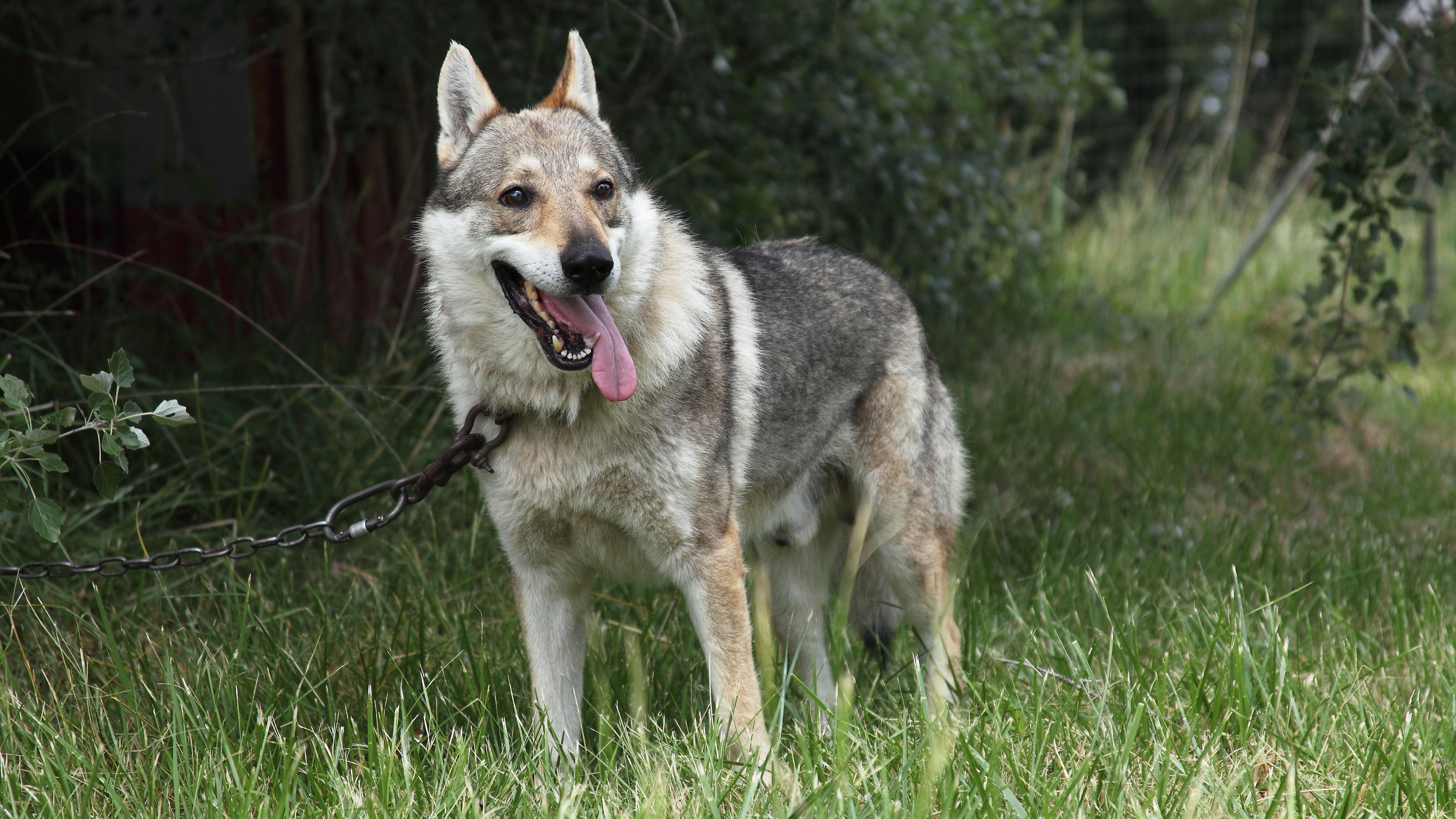 Wolf Dog Full Profile History And Care