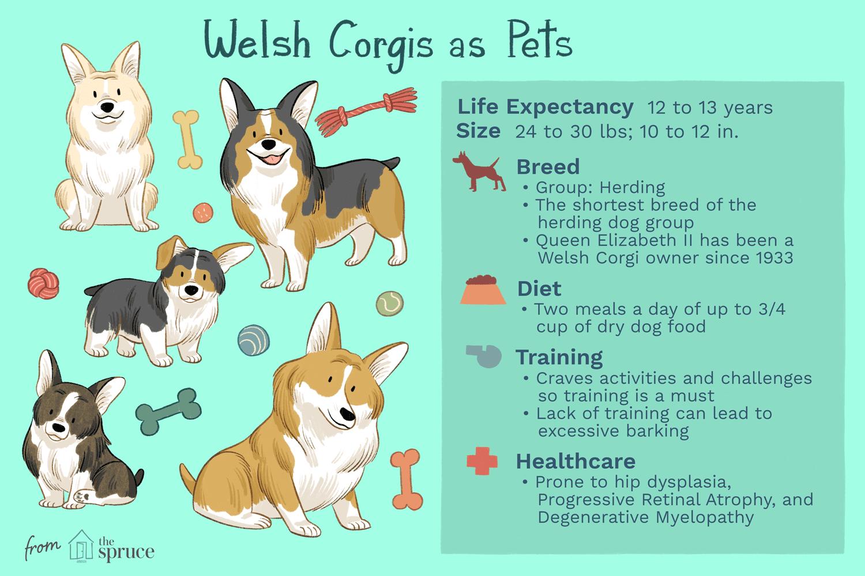 Corgis galés como ilustración de mascotas