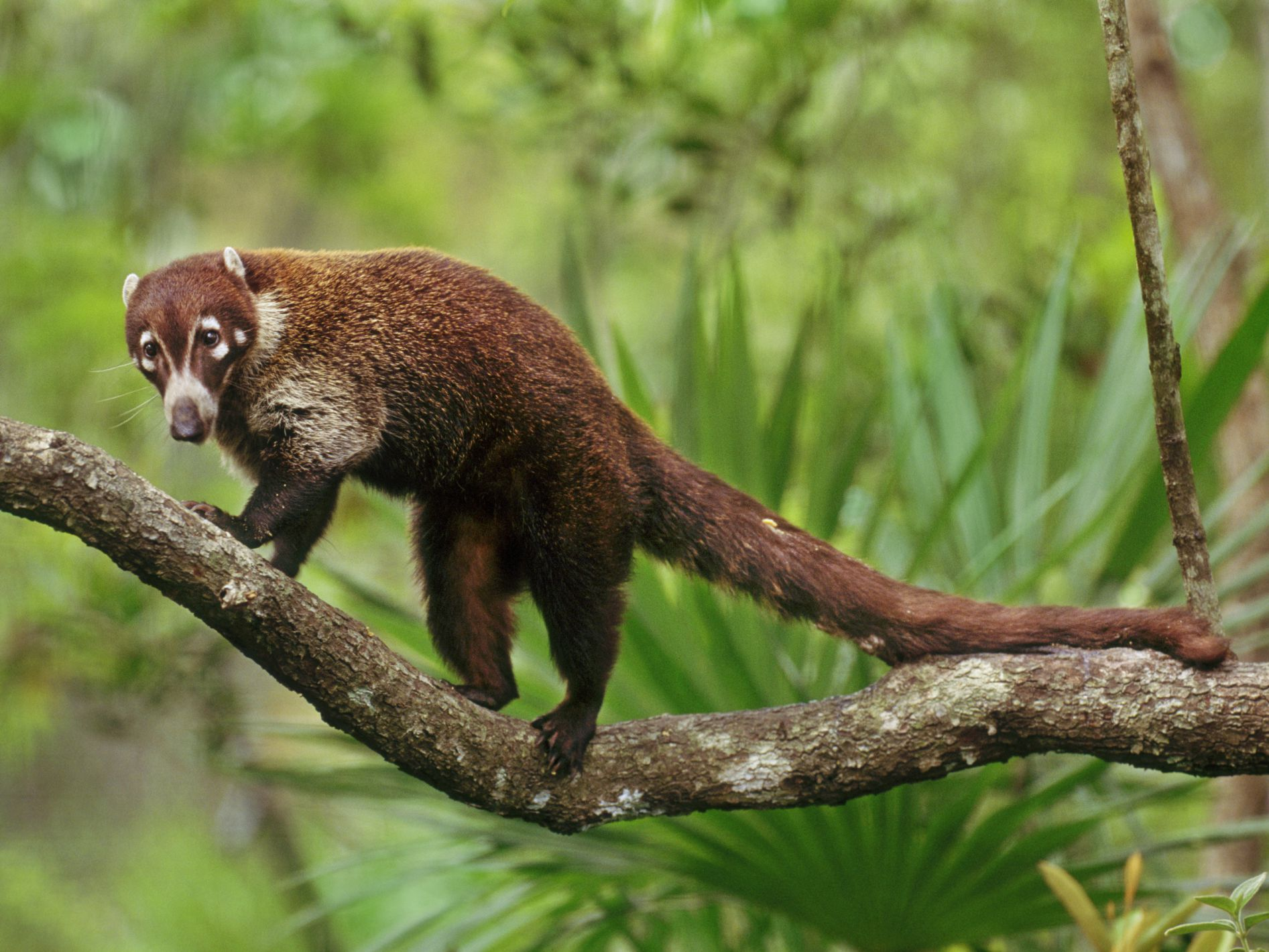 Keeping and Caring for a Pet Coatimundi (Coati)