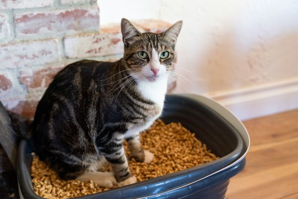 Brown and white cat sitting on brown cat litter