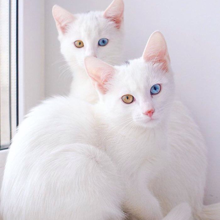 white cats with multi-colored eyes