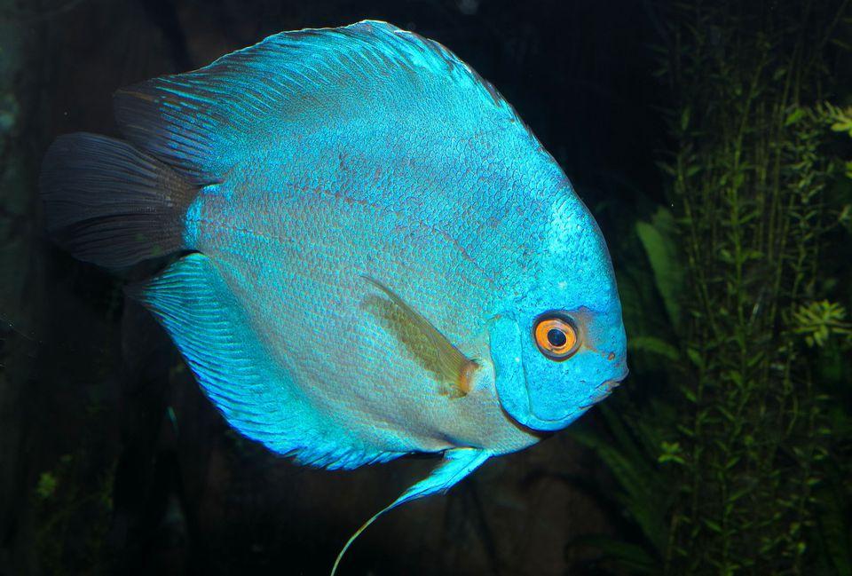 Symphysodon aequifasciatus - Disco azul