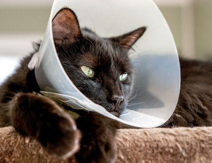 Black cat with green eyes wearing a cone around head while laying down