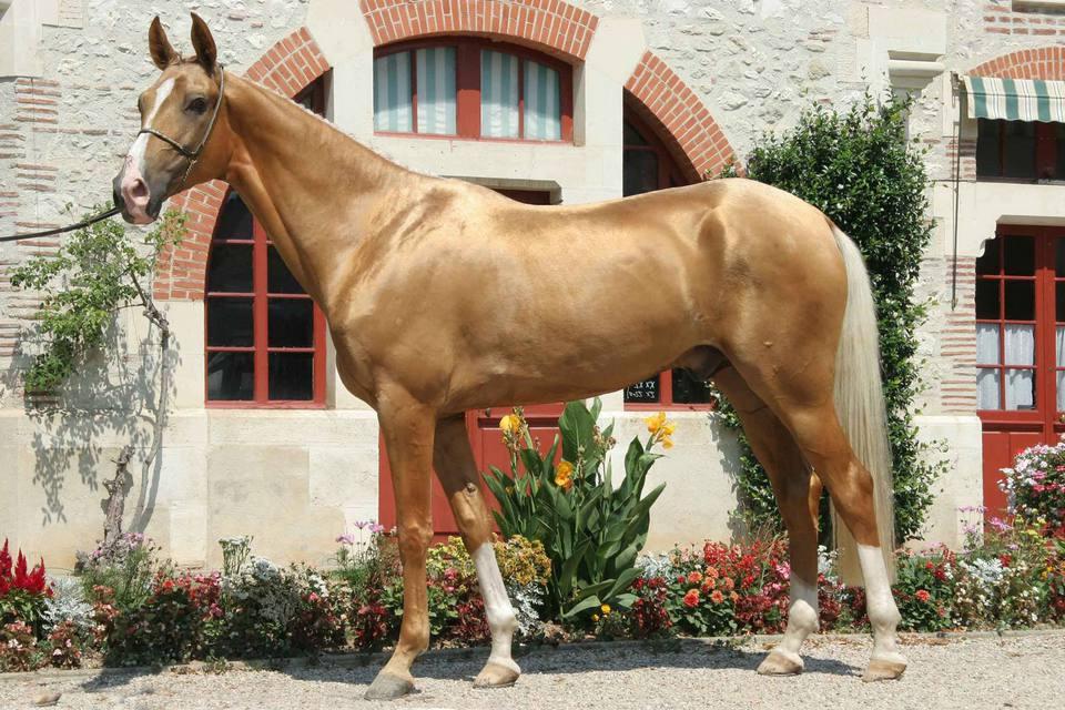 Akhal-Teke caballo parado afuera junto a una pared de piedra y ladrillo