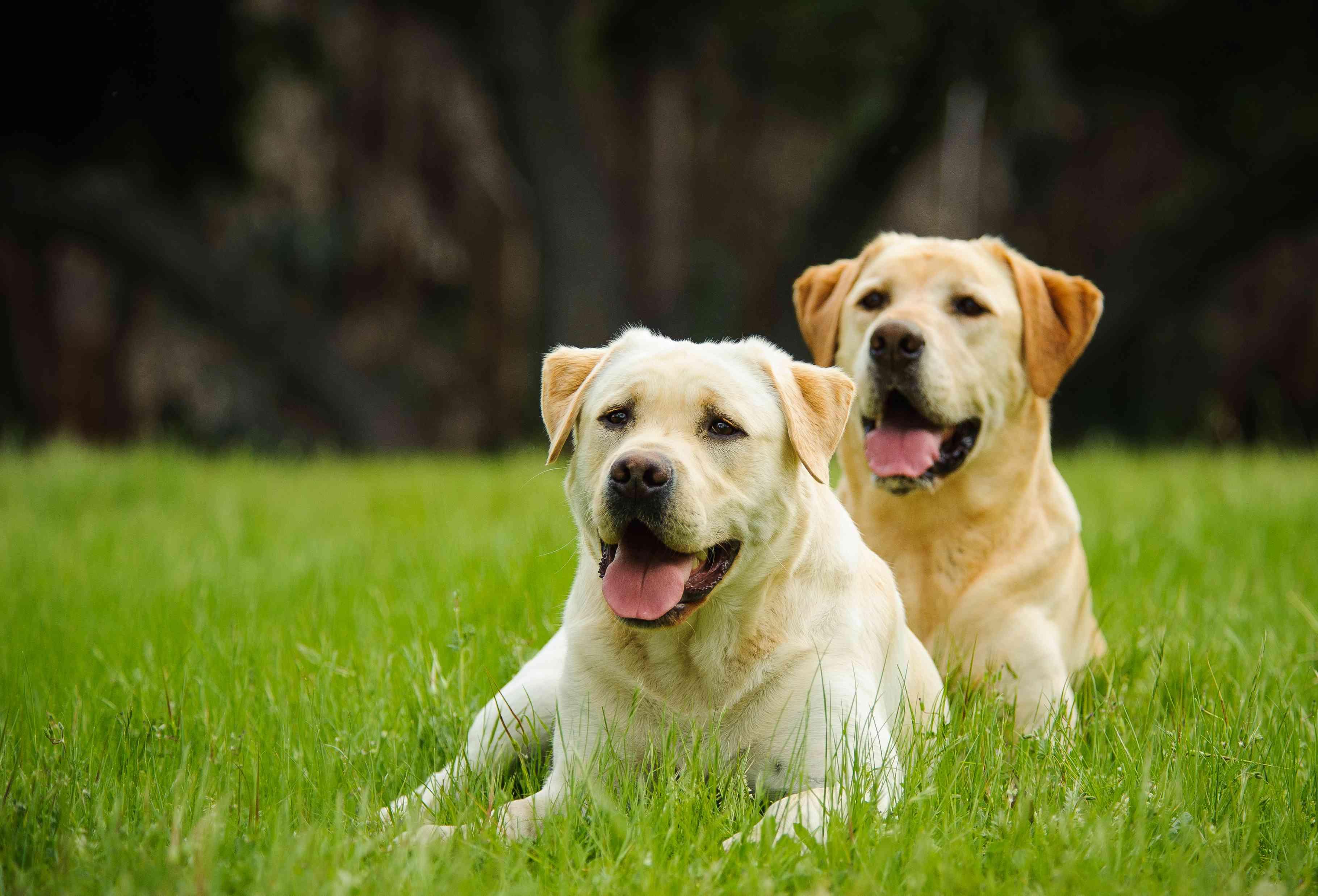 two yellow Labrador retrievers lying outside