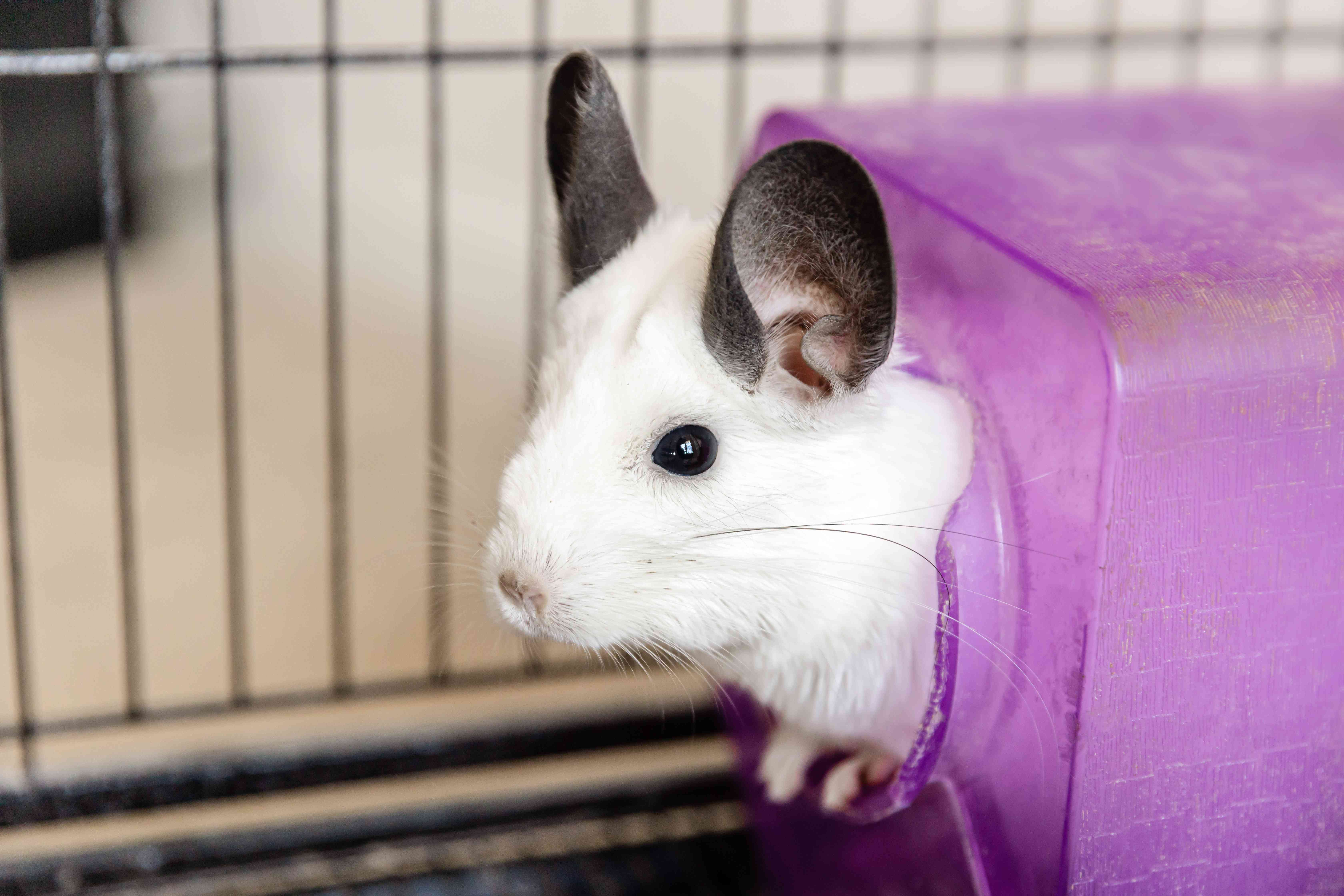 White chinchilla with gray ears poking head out of purple toy