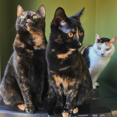144e8adfa0b Tortoiseshell Cat Facts and Pictures