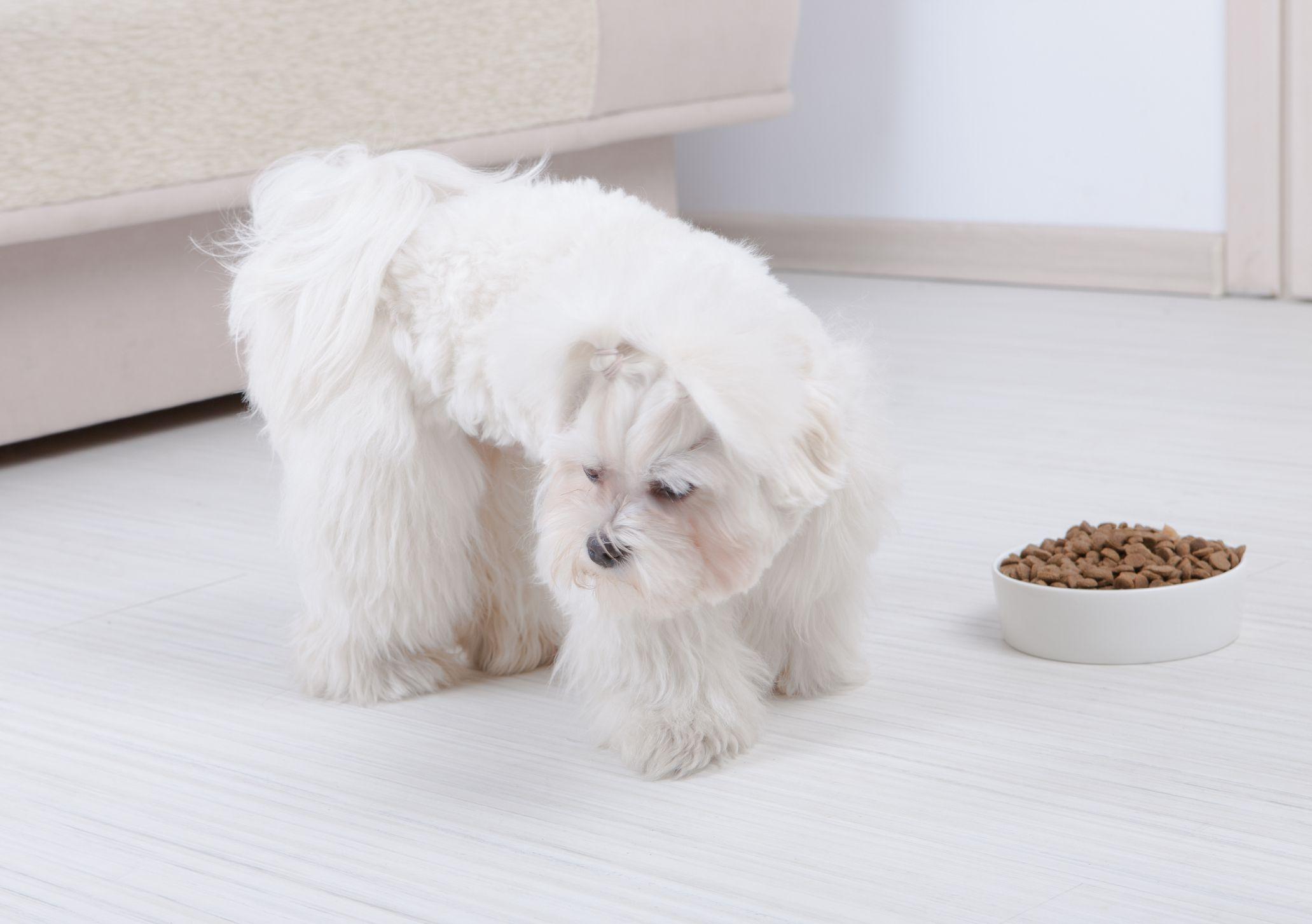 Maltese refusing to eat bowl of dry dog food.