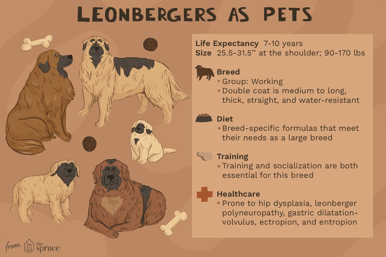 Leonbergers como ilustración de mascotas