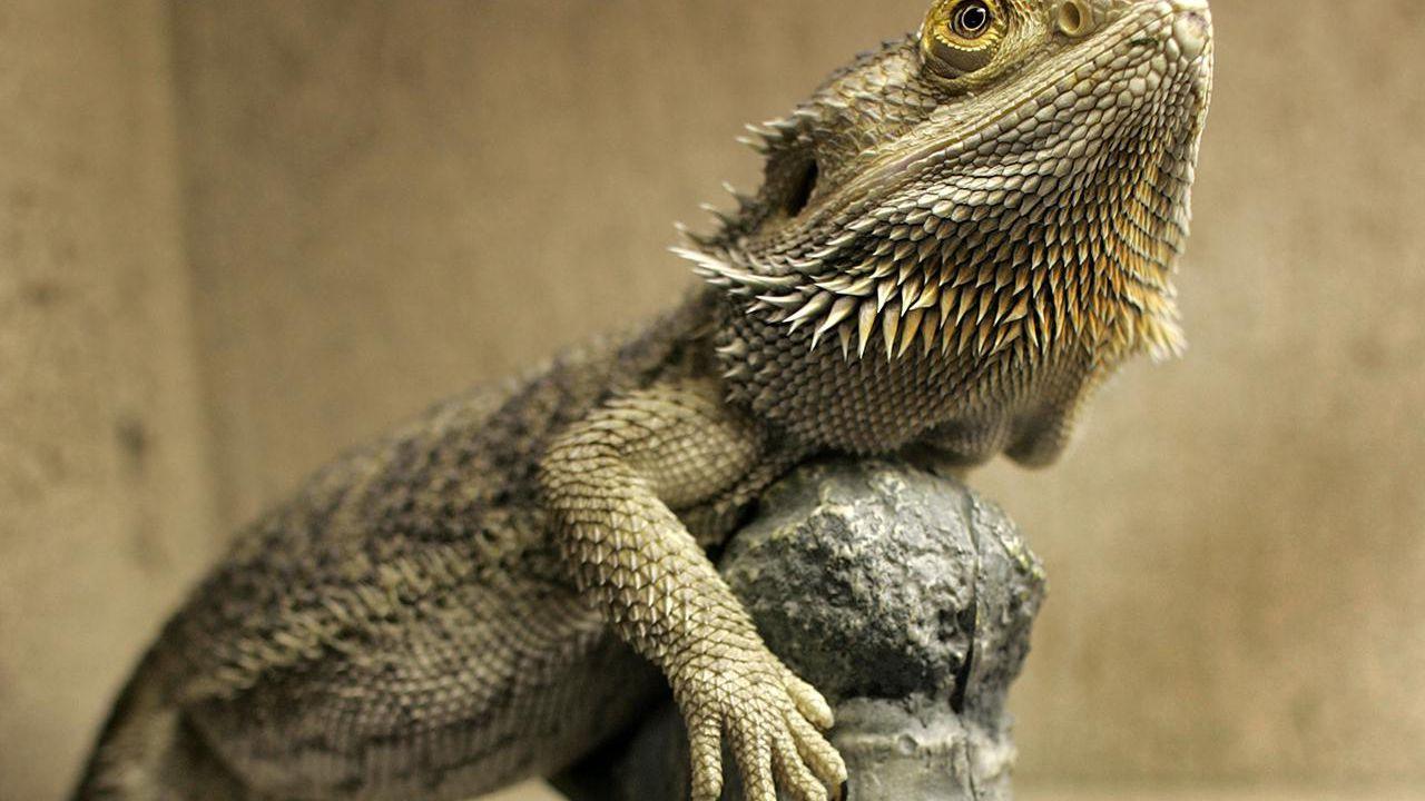 Bearded Dragon Behavior - What Your Pet Needs