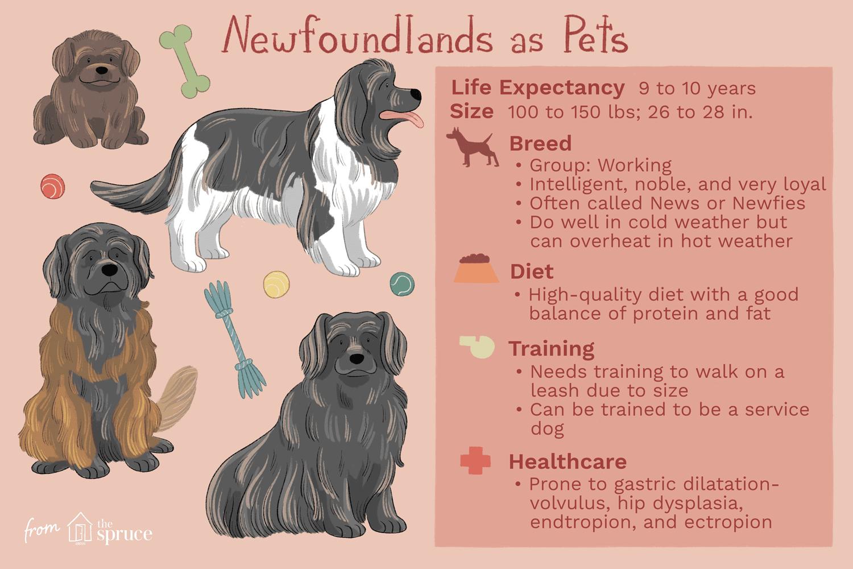 newfoundlands as pets illustration