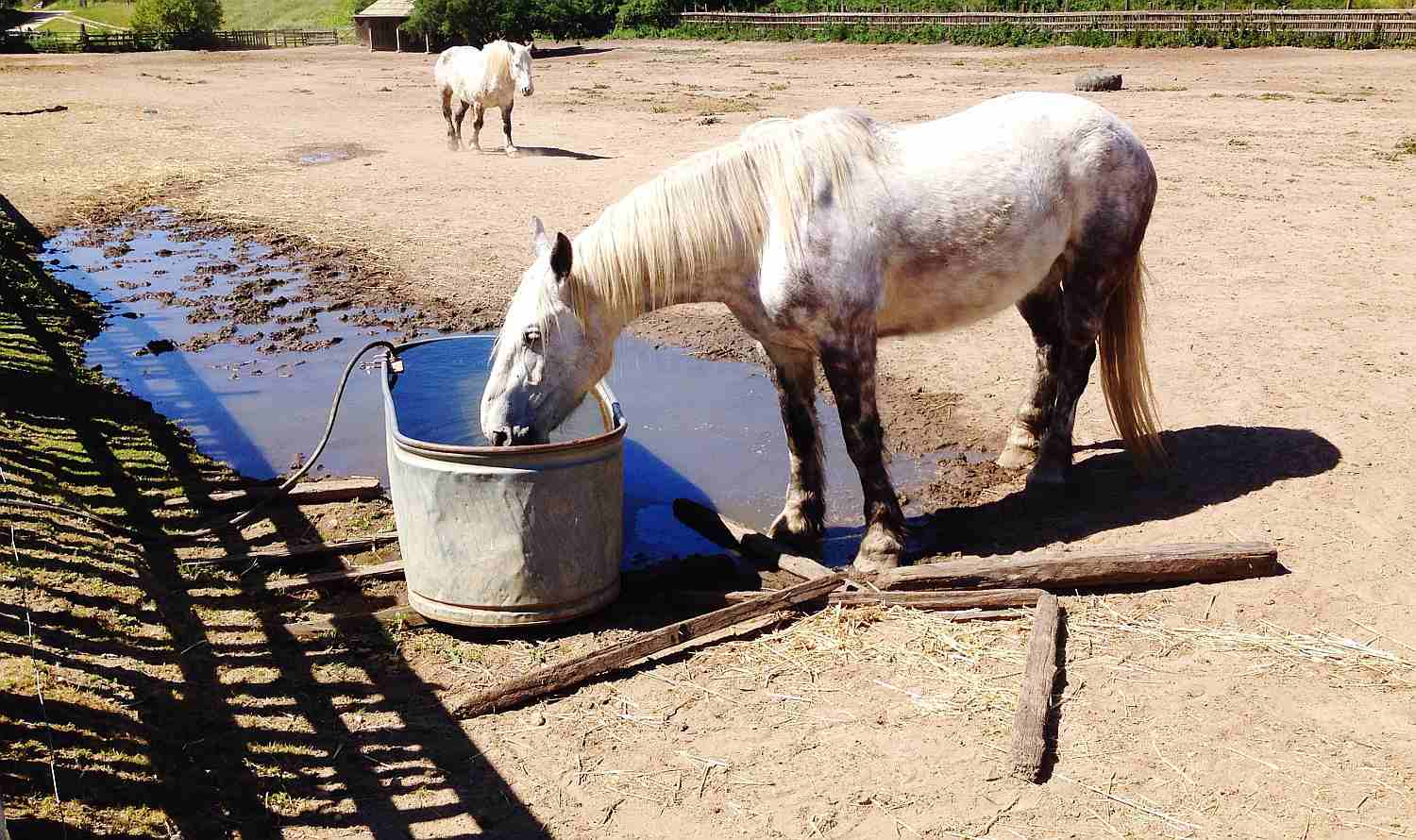 Draft horse drinking from trough in sandy and muddy paddock.
