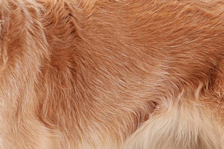primer plano de la piel de un Golden Retriever