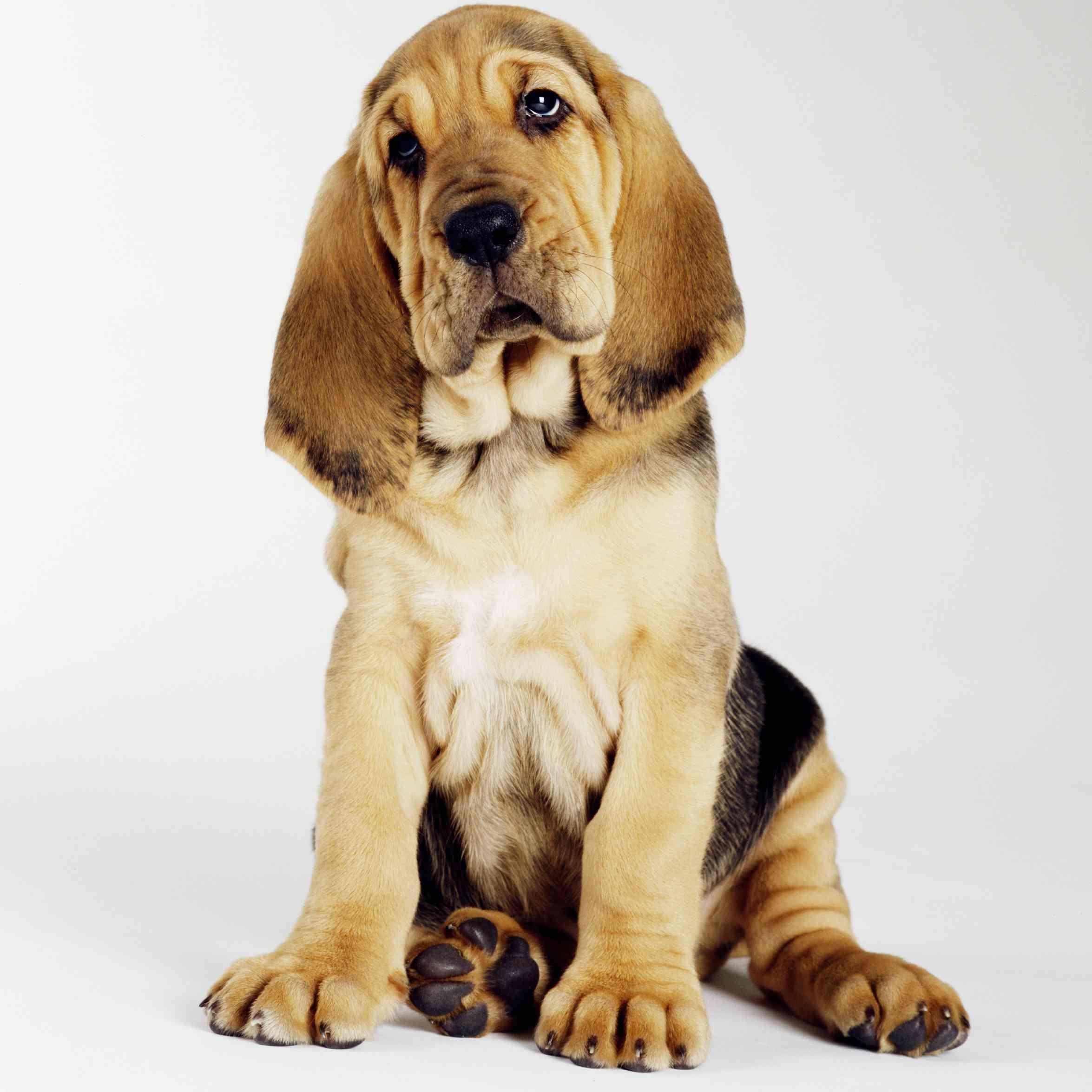 BloodhoundResize.jpg