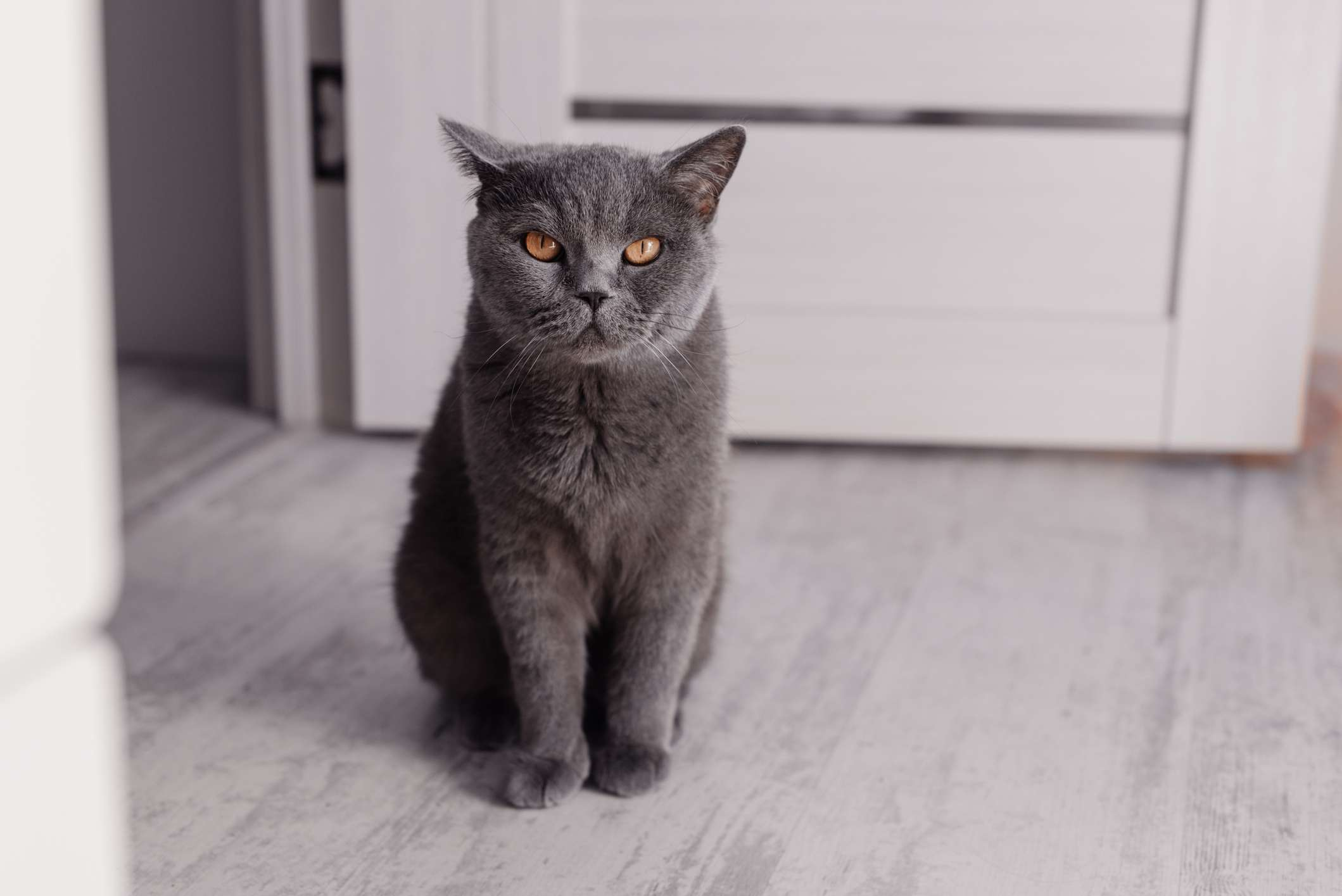 A gray British Shorthair cat sitting upright on the floor and looking at the camera.