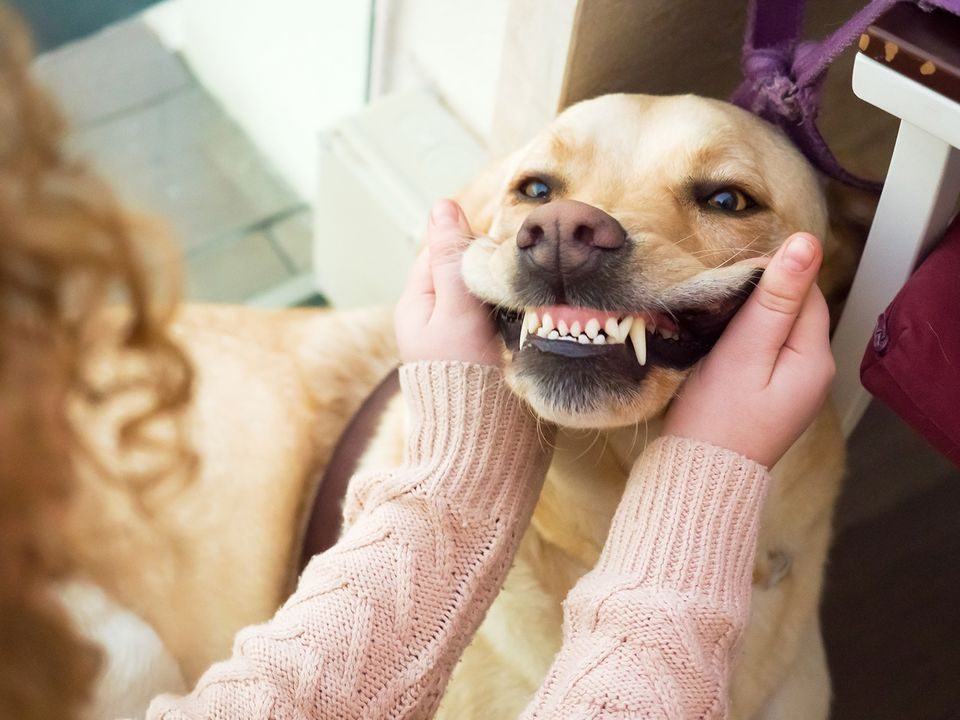 Golden retriever showing teeth