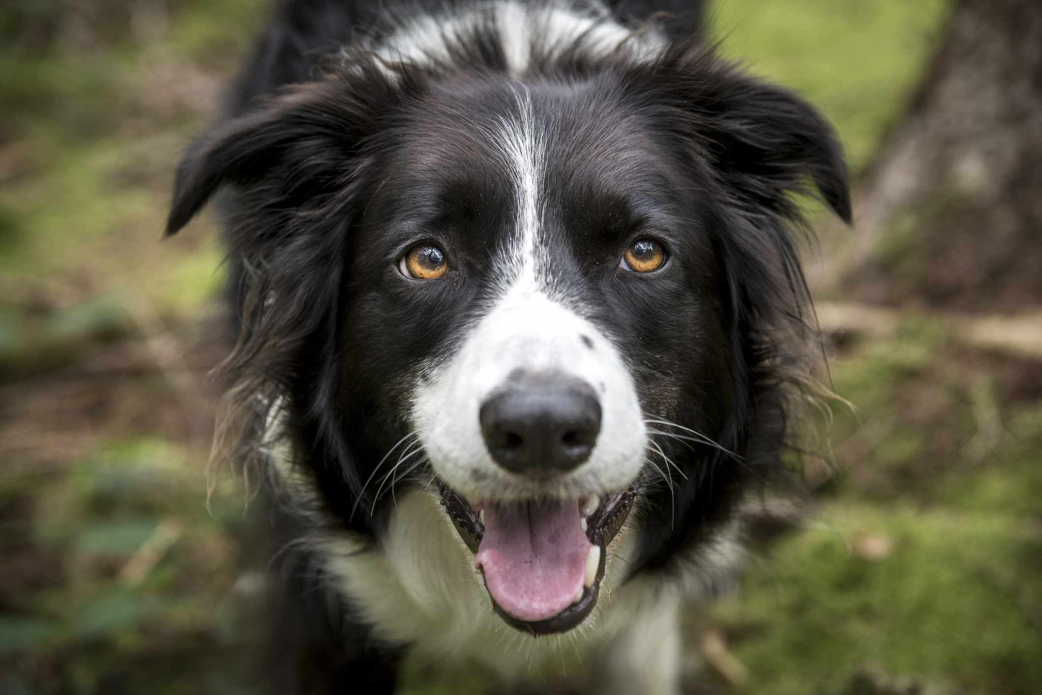 A closeup of a smiling border collie in the woods
