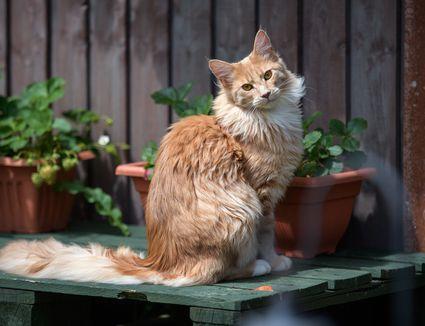 Maine coon cat breed portrait