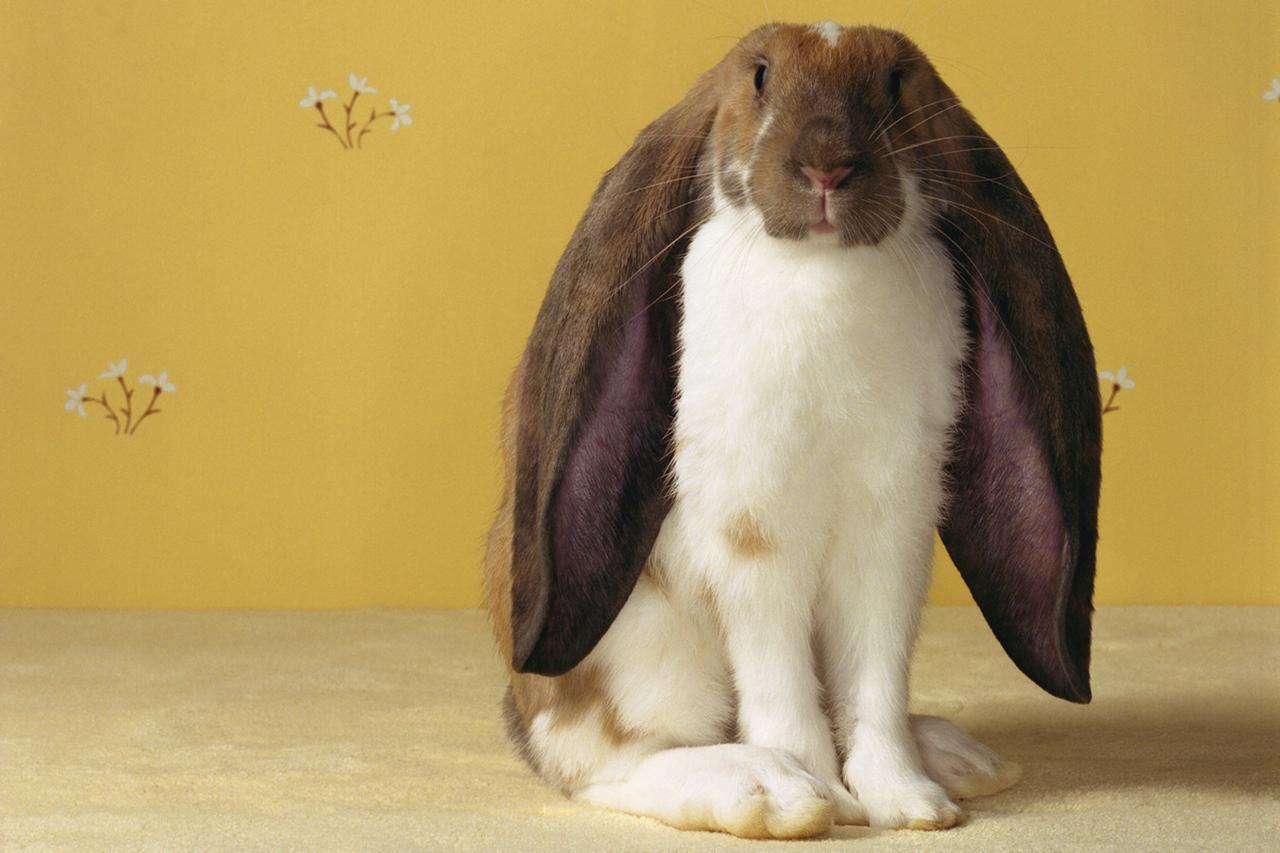 Conejo lop inglés sentado contra un fondo de pantalla amarillo