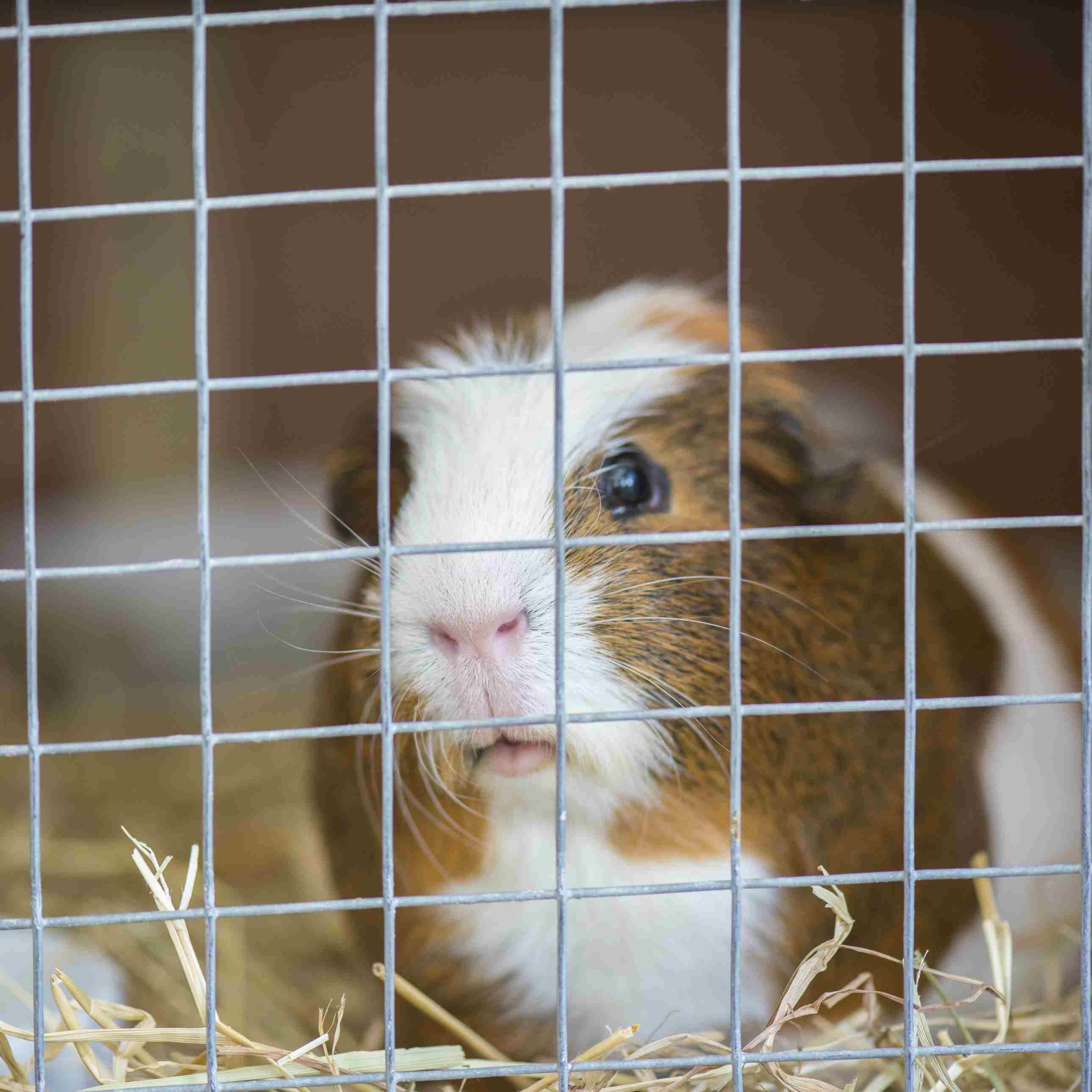 Guinea pig peering out from wire mesh cage