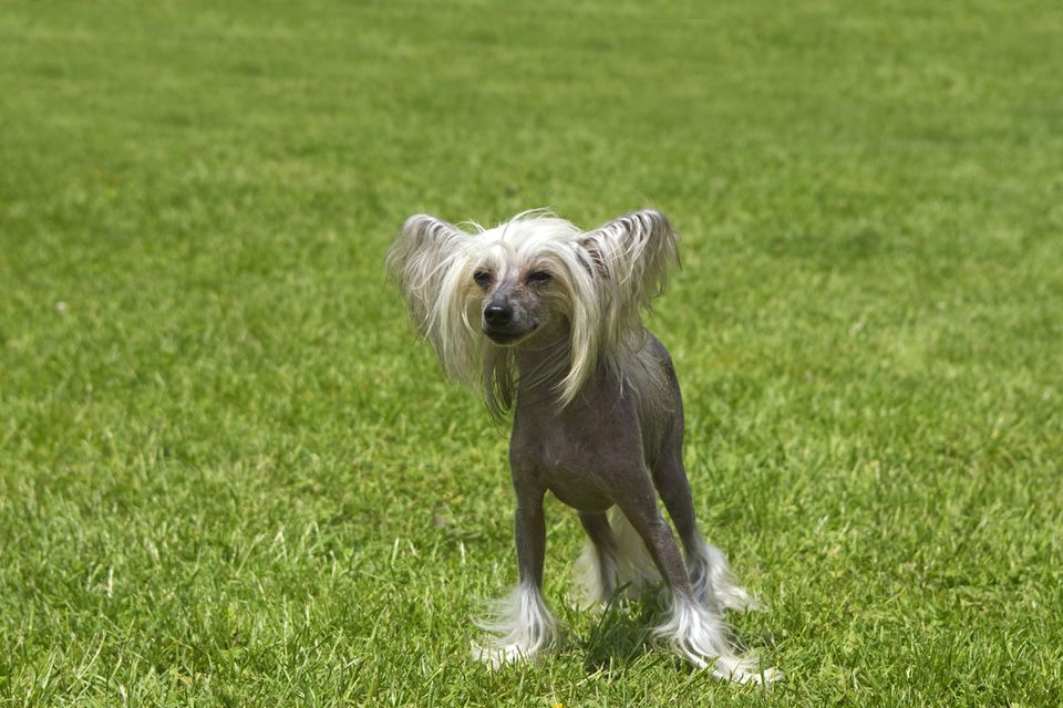 hairless Chinese crested dog in the grass