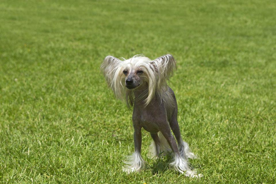 Perro Crestado Chino en la hierba - Francia,