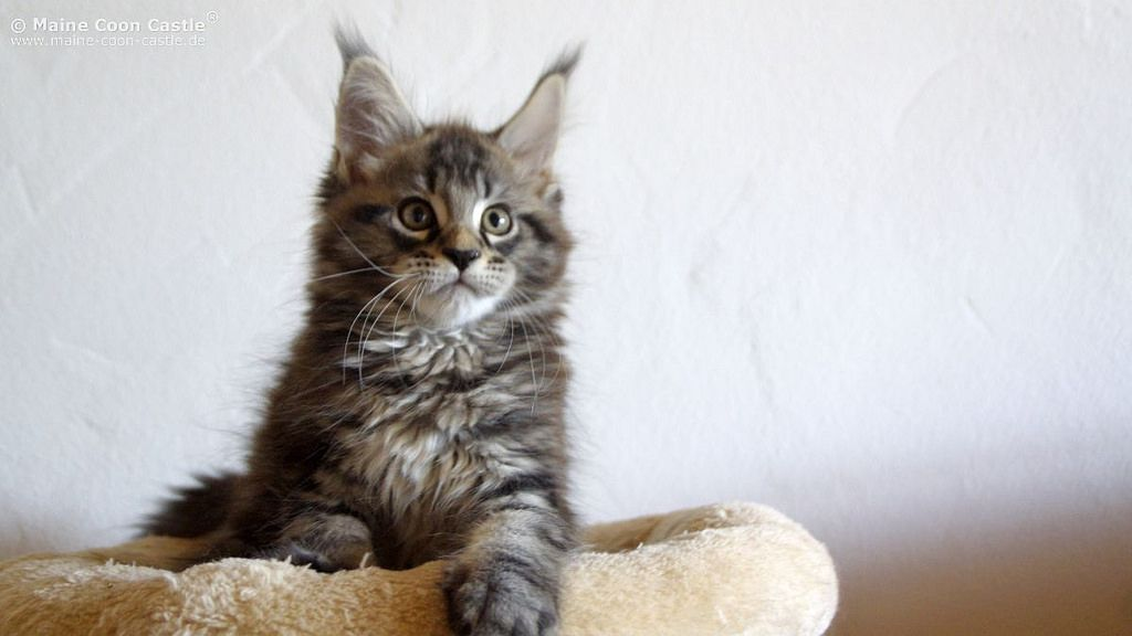 maine coon cat in bed