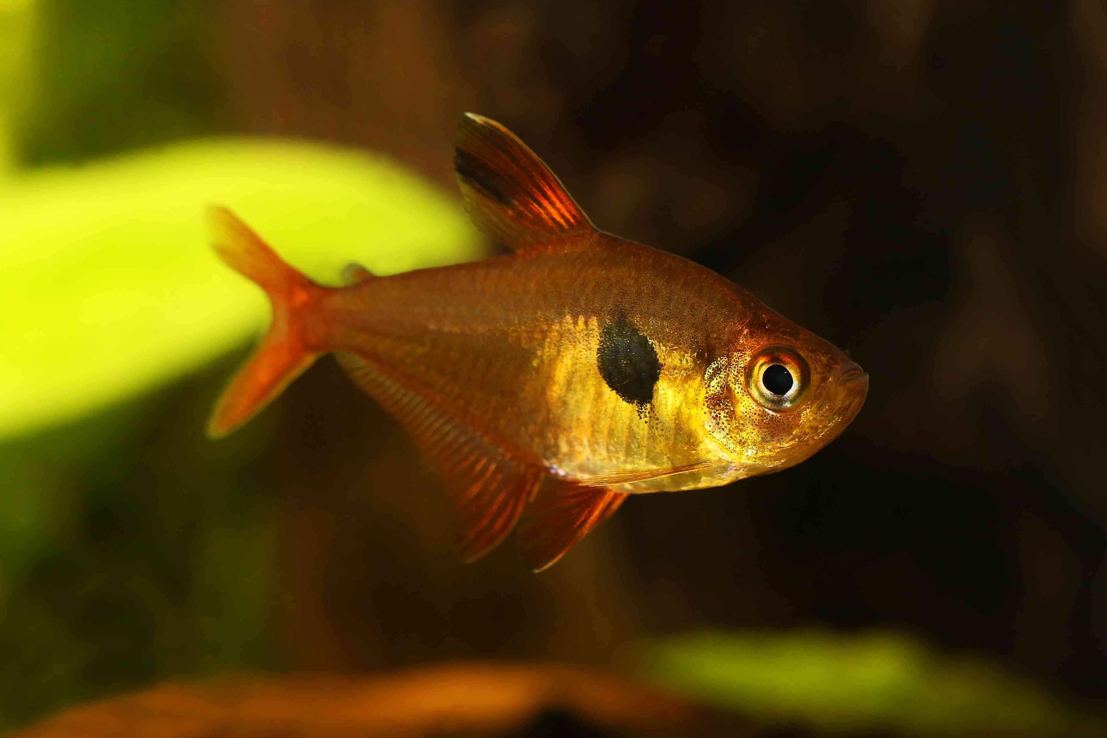Serpae tetra fish