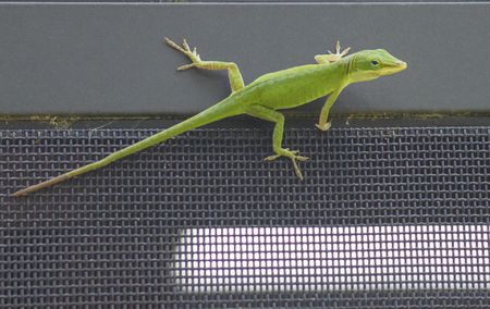a guide to caring for the green anole