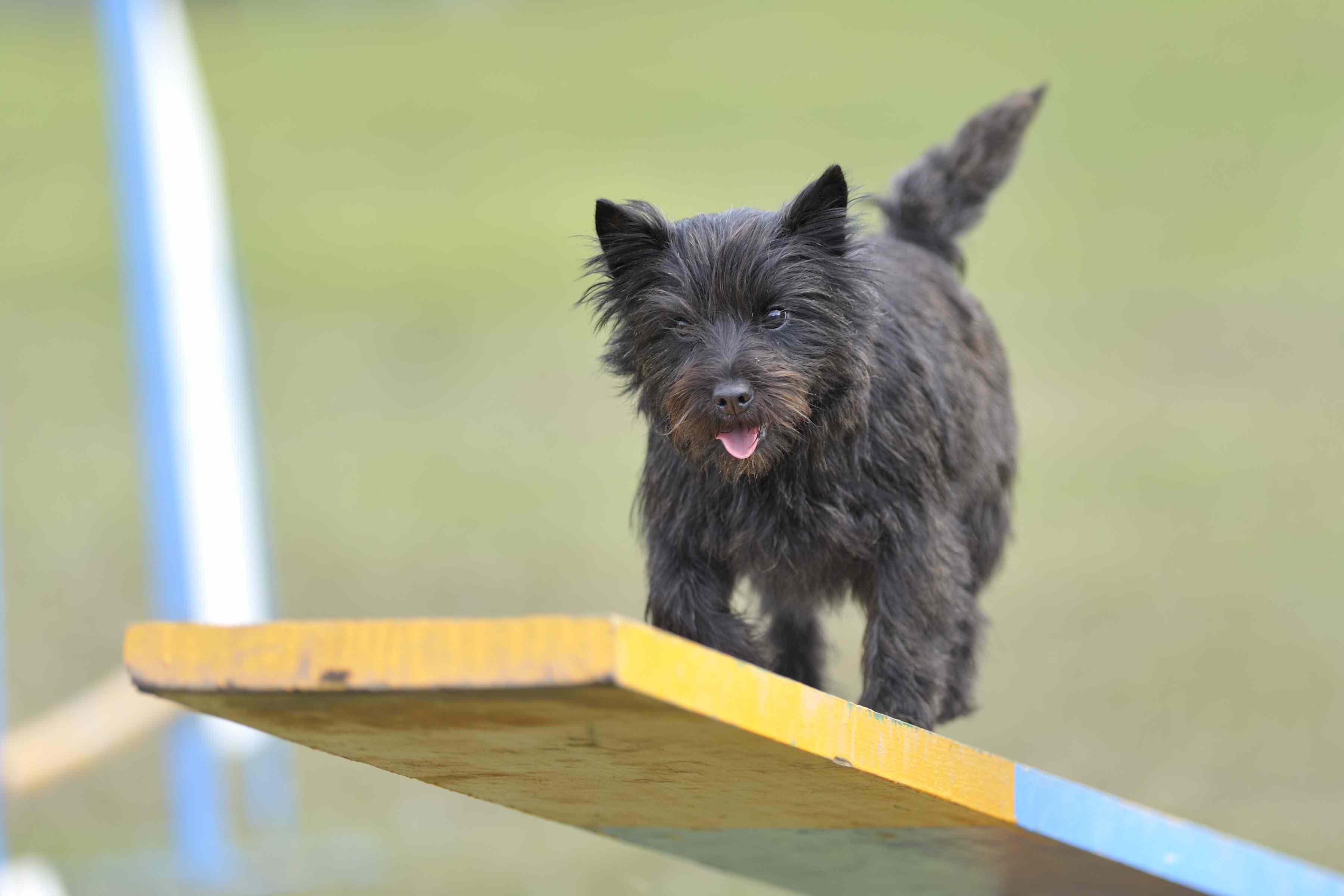 Cairn Terrier on agility seesaw