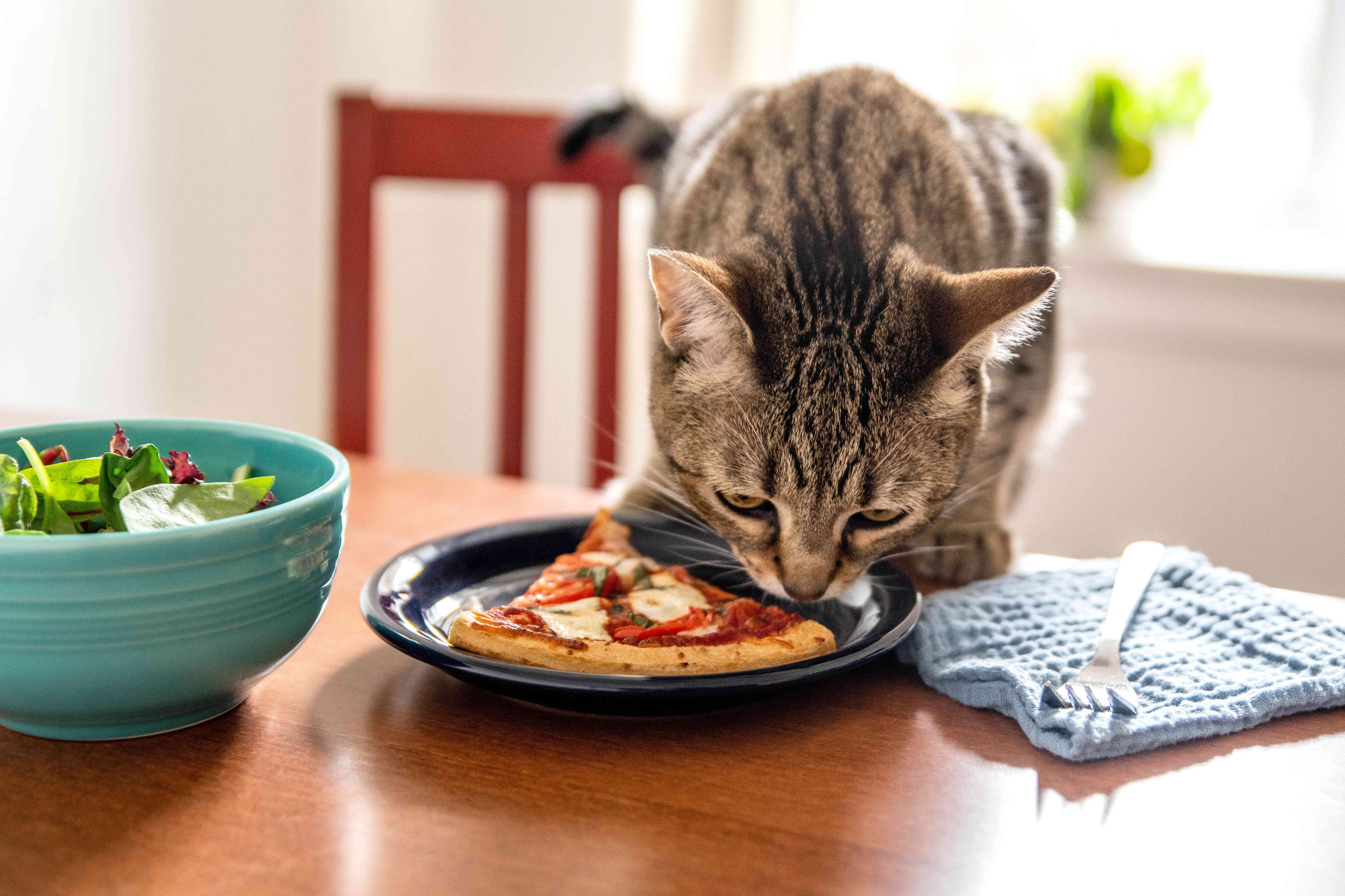 Brown cat sniffing slice of pizza on black plate next to silverware and salad bowl