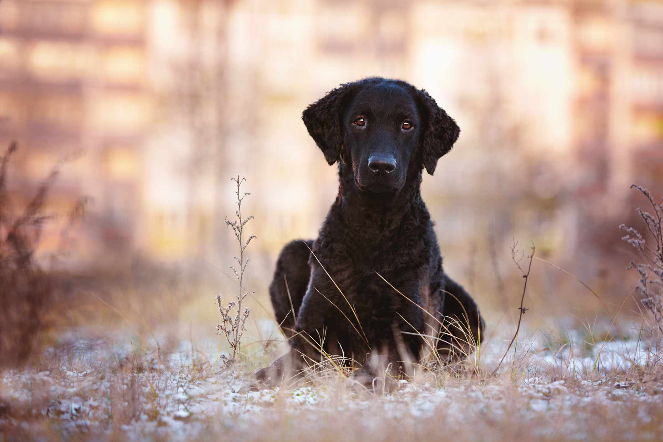 Curly-coated retriever puppy looking at camera
