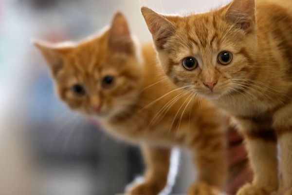 Two 13-week-old kittens