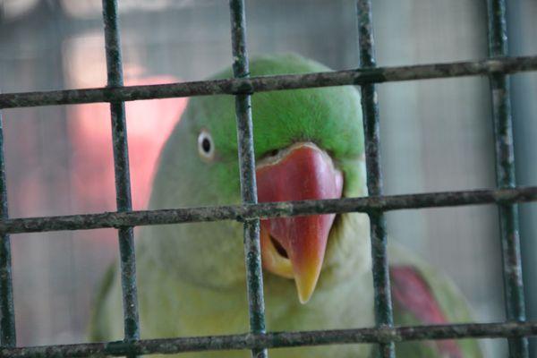 A sad looking Indian Parrot
