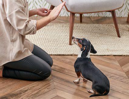 Training a dachshund to stay