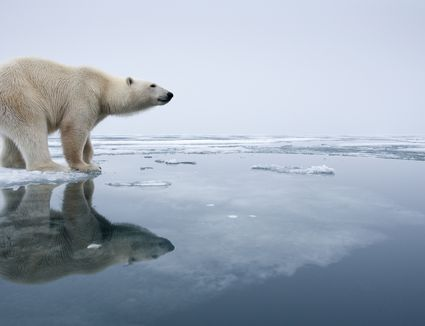 Polar Bear on Melting Ice, Svalbard, Norway