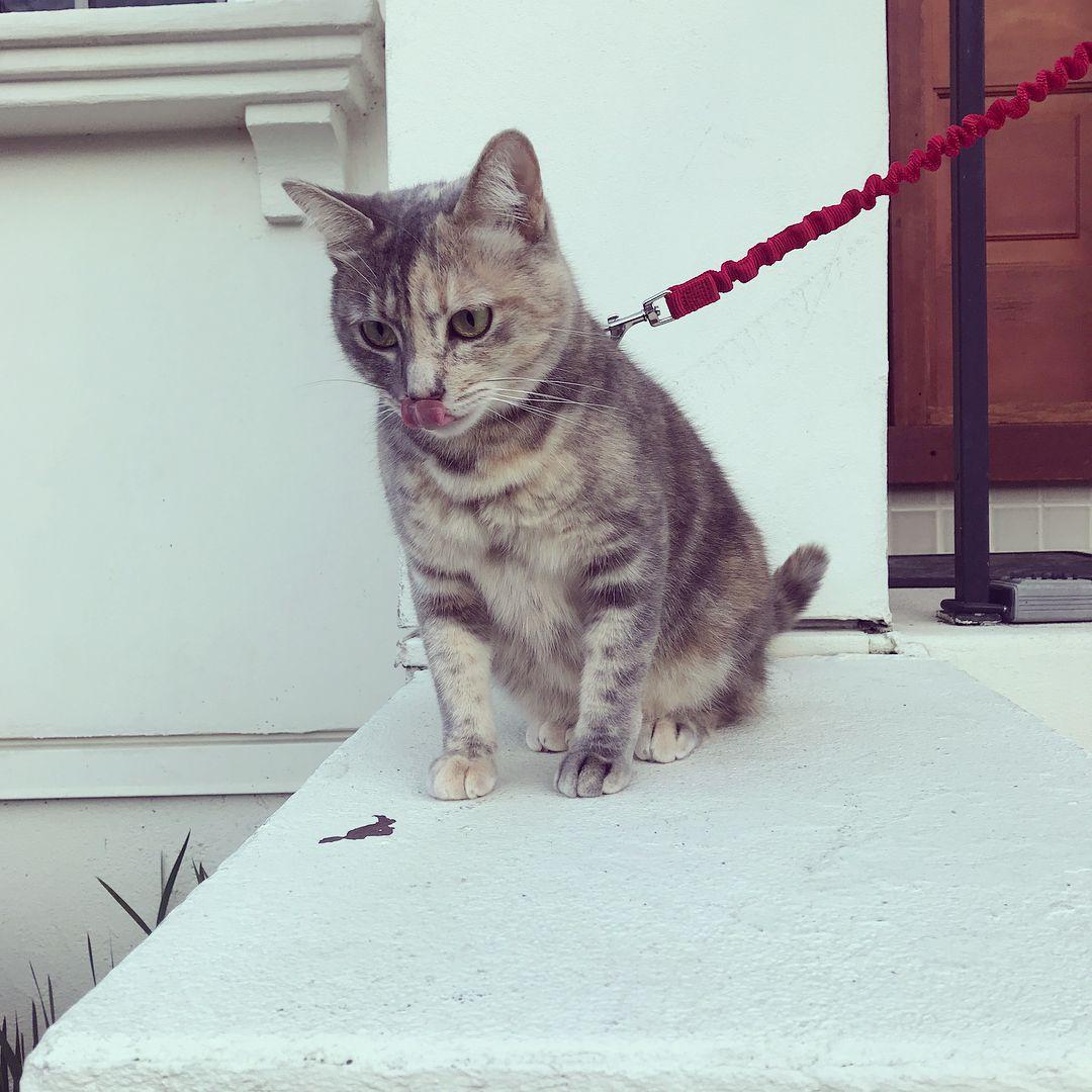 Cat on a leash outside.