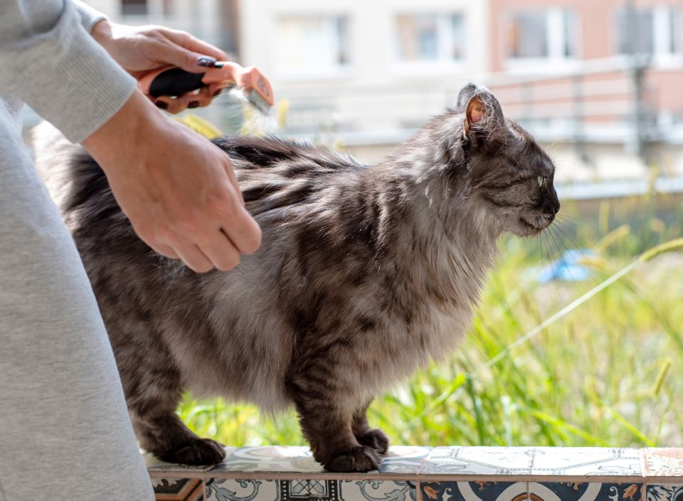Gray and black cat being brushed with dematting comb