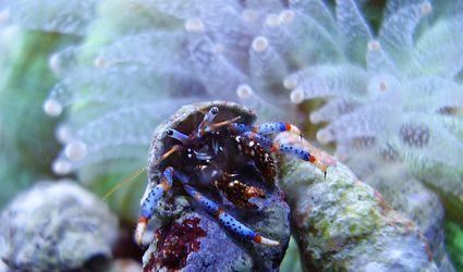 Blue legged hermit crab