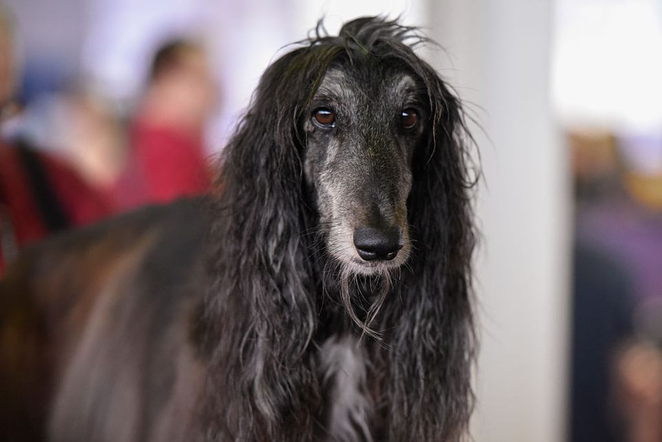 a long haired dog