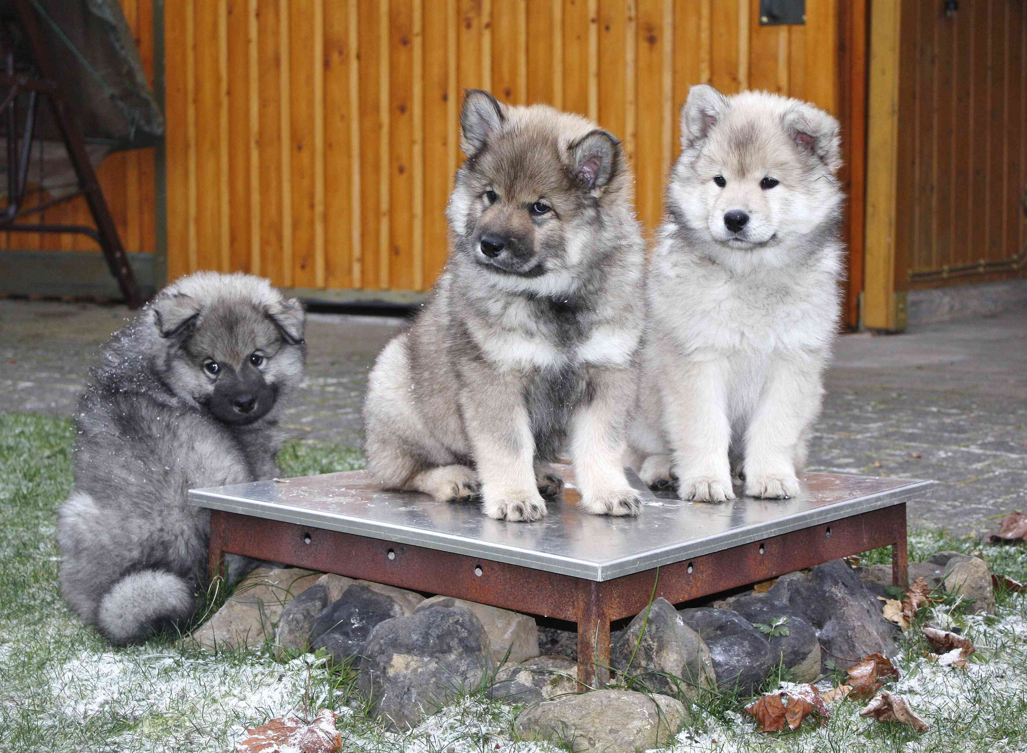 Three Eurasier puppies