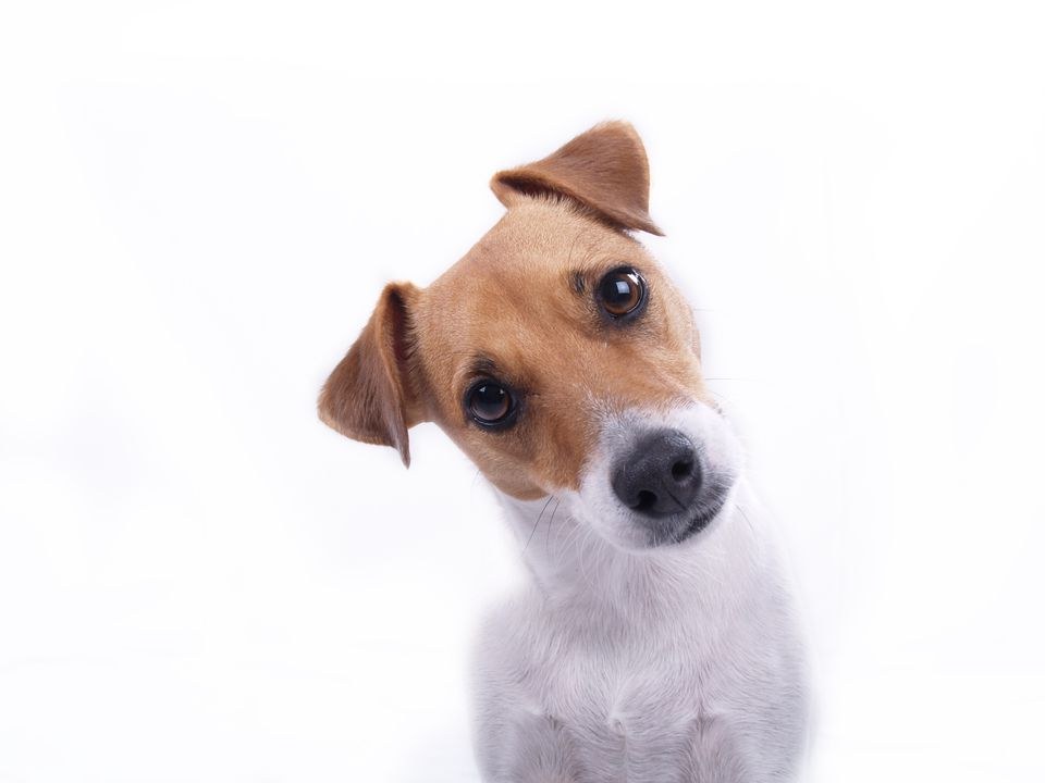 Jack Russell terrier cocking head at camera.