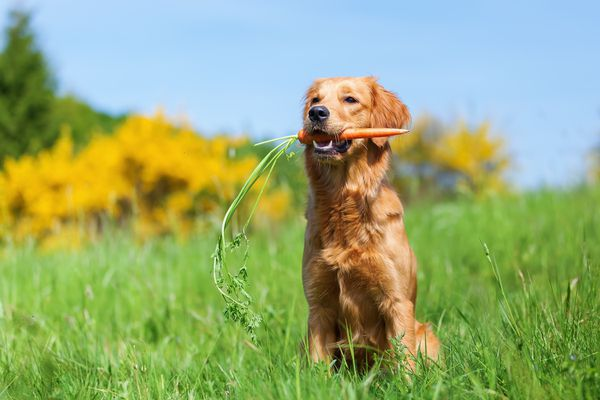 dog with carrot