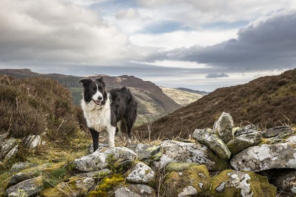 Border collie standing on hill