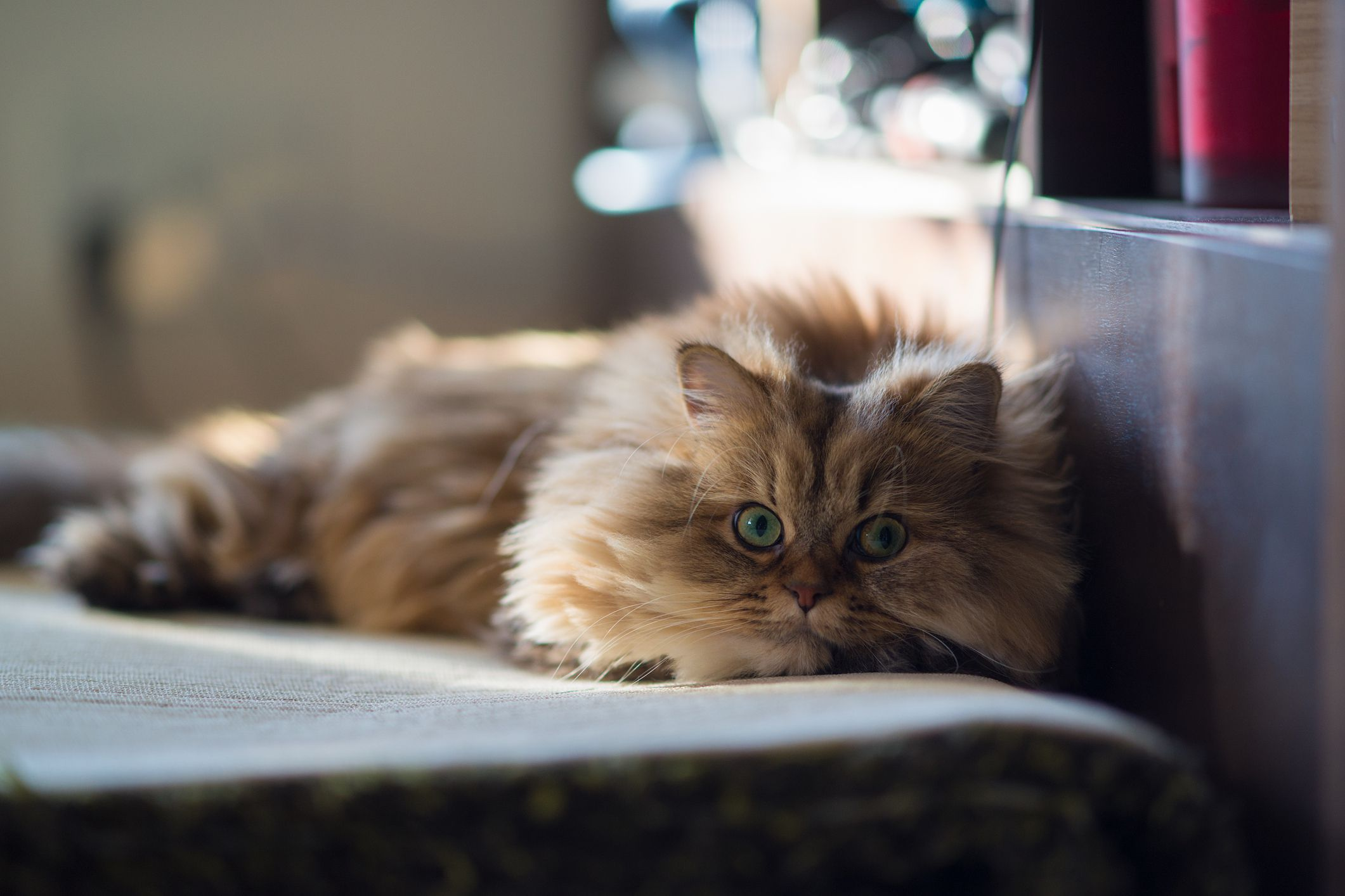 How To Treat Polycystic Kidney Disease In Cats
