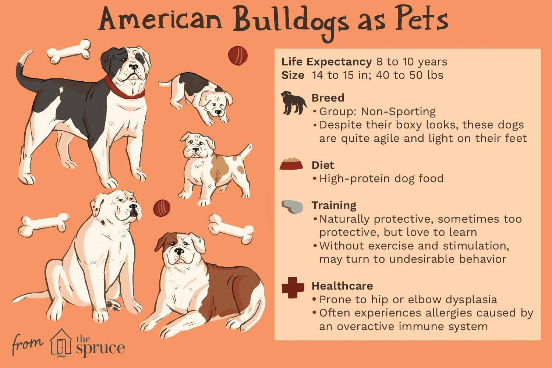 american bulldogs as pets illustration